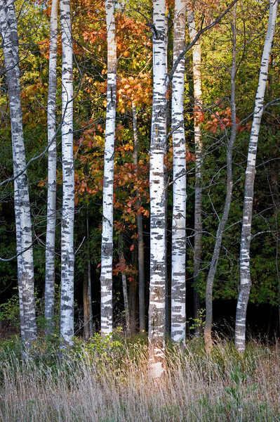 WI 054                           A stand of birch trees lines a roadside at Peninsula State Park in Door County, Wisconsin.