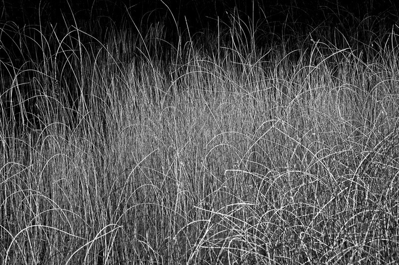 WI 043                            Warm morning light bounces off reeds growing along the shore of Kangaroo Lake in Door County, Wisconsin.