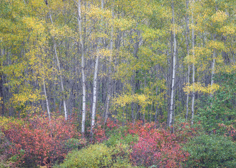 WI 170<br /> <br /> Golden birch leaves glitter in the autumn woods of norther Wisconsin.