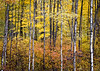 WI 161<br /> <br /> Autumn in the Northwoods, where a grove of birch trees is in peak color.  Northern Wisconsin.