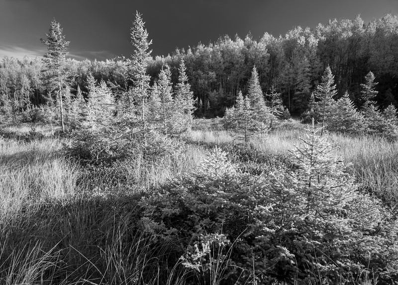 WI 122     The black and white tones of an autumn morning on a peat bog in the Northwoods of Oneida County, Wisconsin.