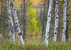 WI 197<br /> <br /> Birch trees and autumn color in a tamarack bog in norther Wisconsin.  Northern Highland-American Legion State Forest.