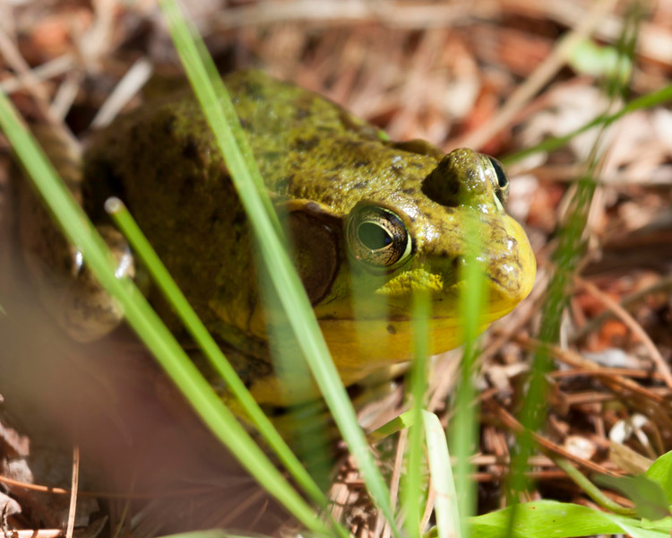 green frog-0751