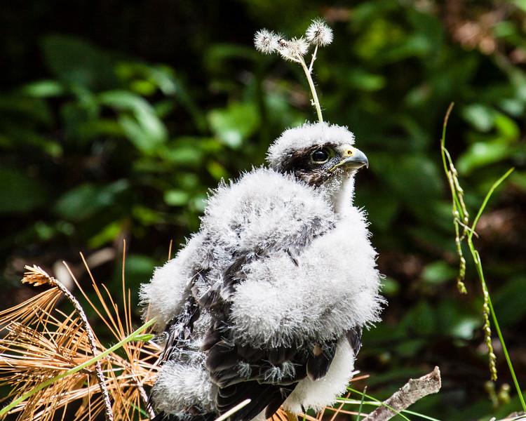 Hawk Chick Alone