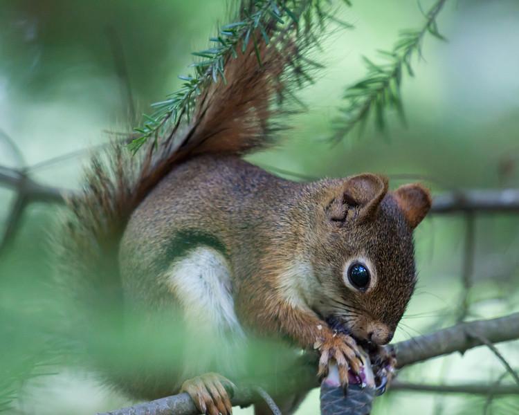 Baby Squirrel at Perch Lake
