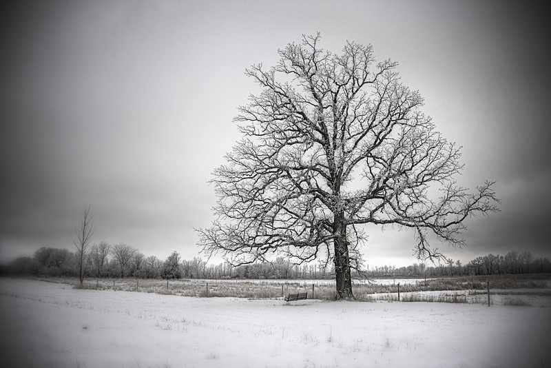 Swing Oak in Winter