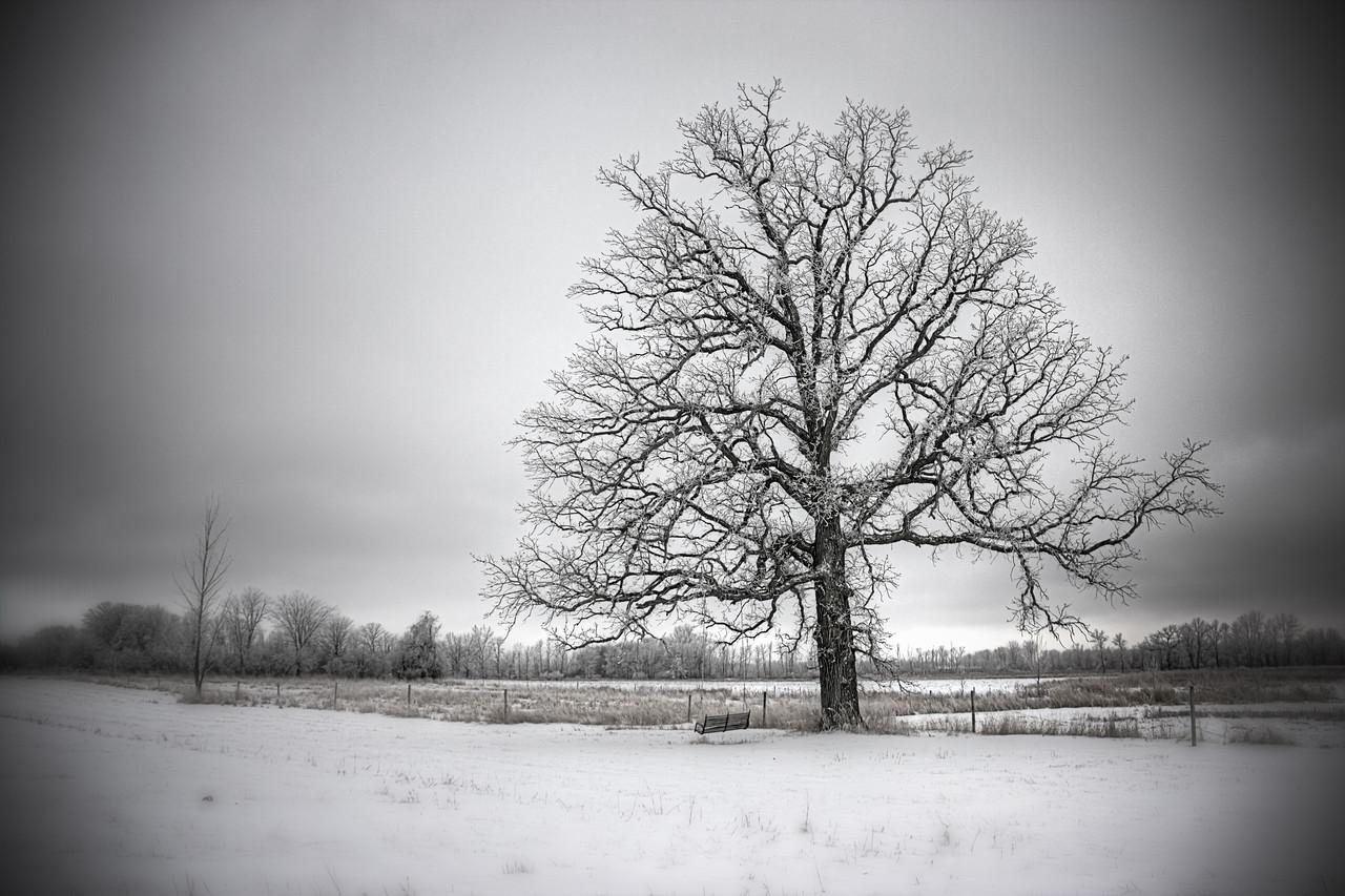 Swing Oak in Winter