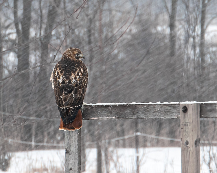 Redtail in WInter