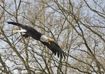 Seeadler - Flugshow im Falkenhof