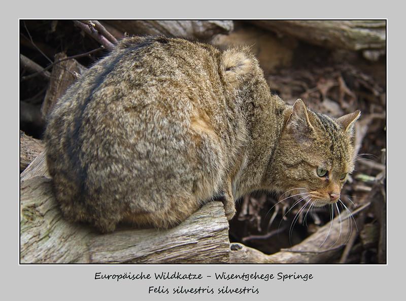 Felis silvestris silvestris -Wisentgehe Springe