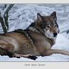 Entspannter Wolf