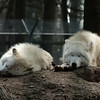 Polarwölfe im Wisentgehege Springe