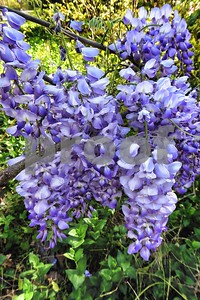 P1100363 Wisteria Blossoms Apr 4 2016