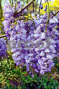 P1100395 Wisteria Blossoms deX1 Apr 4 2016