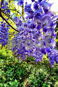 P1100372 Wisteria Blossoms deX1 Apr 4 2016