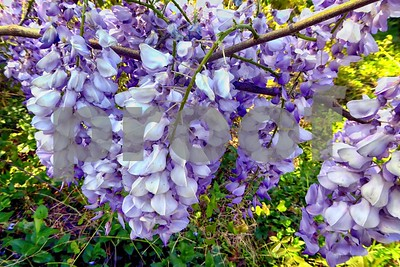 P1100384 Wisteria Blossoms deX1 Apr 4 2016