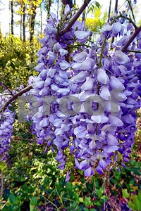 P1100380 Wisteria Blossoms Apr 4 2016 deX
