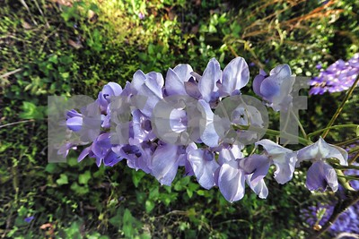 P1100368 Wisteria Blossom Apr 4 2016