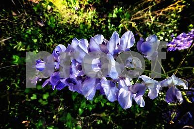 P1100368 Wisteria Blossom Vintage Sat Apr 4 2016