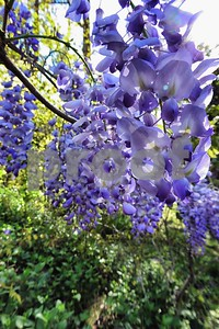 P1100372 Wisteria Blossoms Apr 4 2016