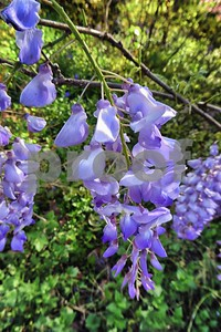 P1100412 Wisteria Blossoms Apr 4 2016