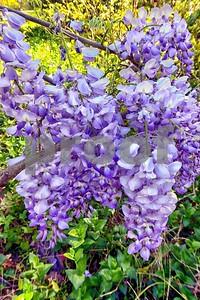 P1100363 Wisteria Blossoms deX1
