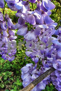 P1100431 Wisteria Blossoms Apr 4 2016
