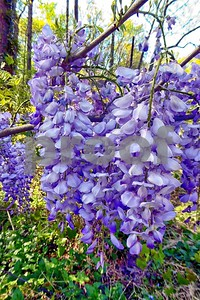 P1100400 Wisteria Blossoms deX1 Apr 4 2016