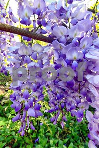 P1100425 Wisteria Blossoms deX1 Apr 4 2016