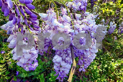 P1100403 Wisteria Blossoms deX1 Apr 4 2016