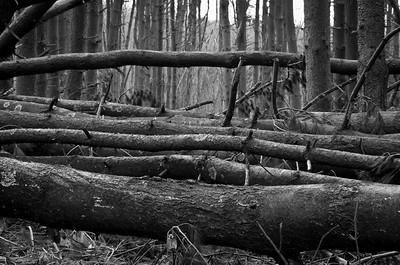 Fallen Forest #2