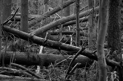 Fallen Forest #1