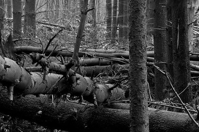 Fallen Forest #3