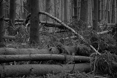 Fallen Forest #4