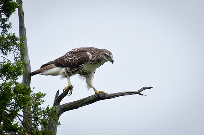 Red Tailed Hawk in Cedar Tree