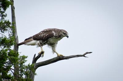 Red Tailed Hawk in Cedar Tree