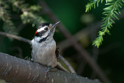 Downy Woodpecker,