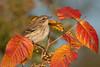 Yellowrumped Warbler in Autumn