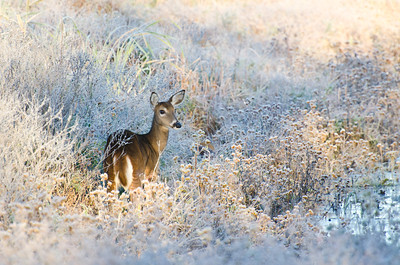 Deer on a Frosty Autumn Morning