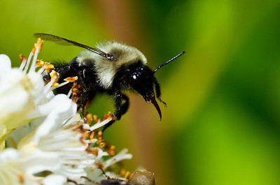 Bee Gathering Pollen from a White Flower