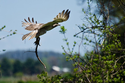 Young Red-Tailed Hawk Carrying a Snake