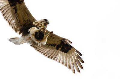 Rough-Legged Hawk on White Background