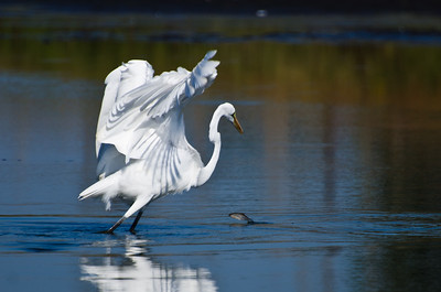 Fish Jumping in Front of a Great Egret