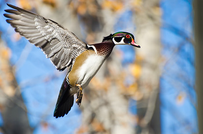 Male Wood Duck In Flight