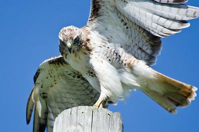 Red-Tailed Hawk Peering at Prey