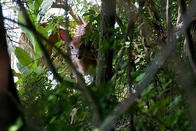 Fawn Sneaking a Peek