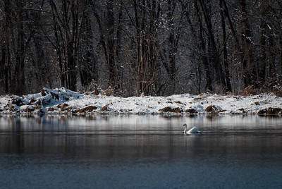 Swan in a Winter Pond