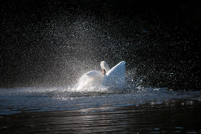 Swan in a Spray of Water