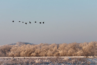 Geese Flying Over First Snow of Season