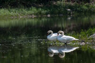 Pair of Swans in Summer Pond
